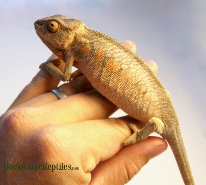female panther chameleon gender