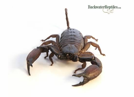 What's the longest scorpion in the world?
