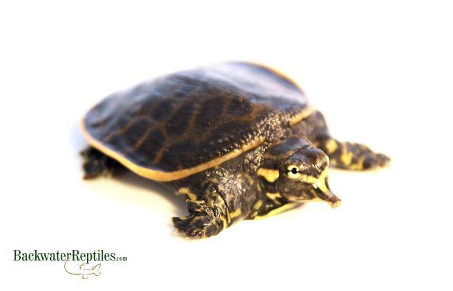 florida softshell vs spiny softshell turtle