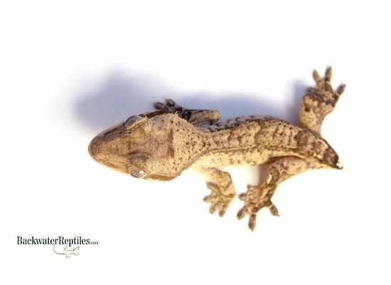 frogbutt rhacodactylus ciliatus