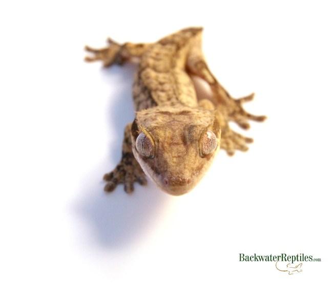 frogbutt eyelash gecko