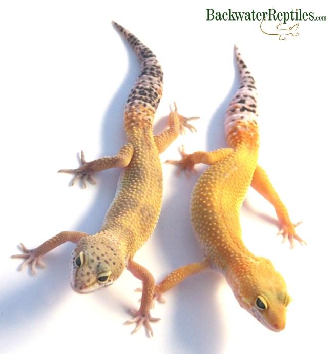 gecko shed comparison