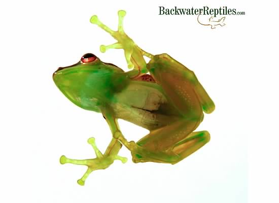 Glass Frog Underbelly