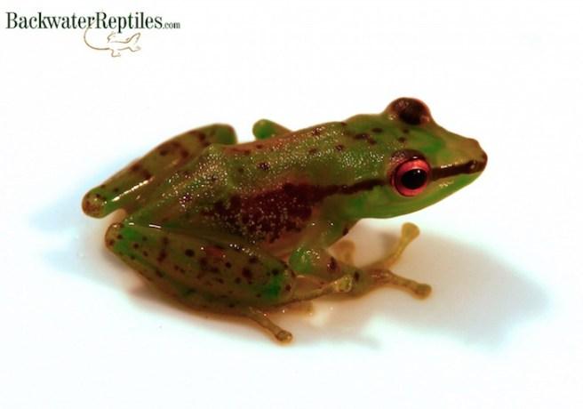 hyla punctata frog
