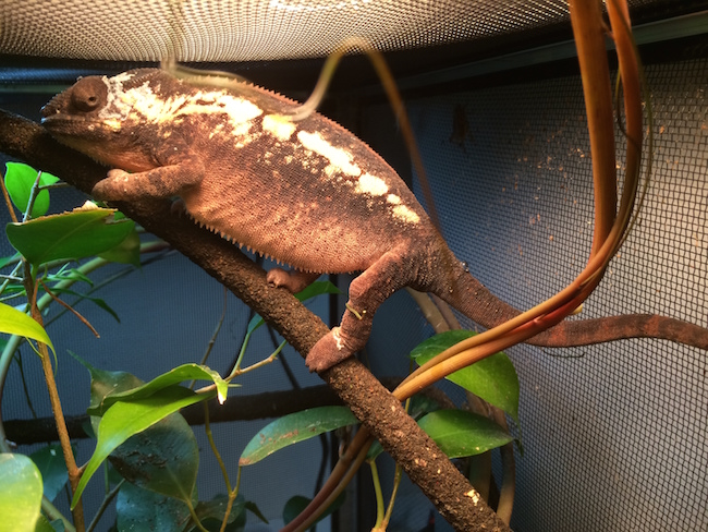 gravid panther chameleon