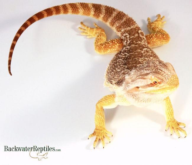 hand feeding lizard