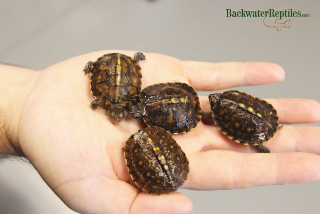 hatchling box turtles
