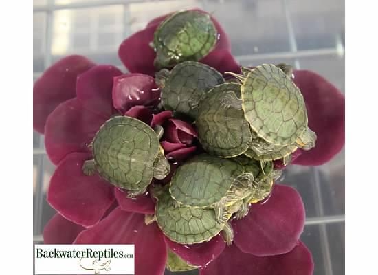 red eared slider turtle hatchlings