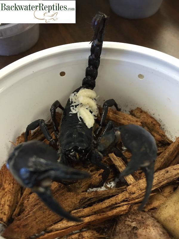 How scorpions reproduce