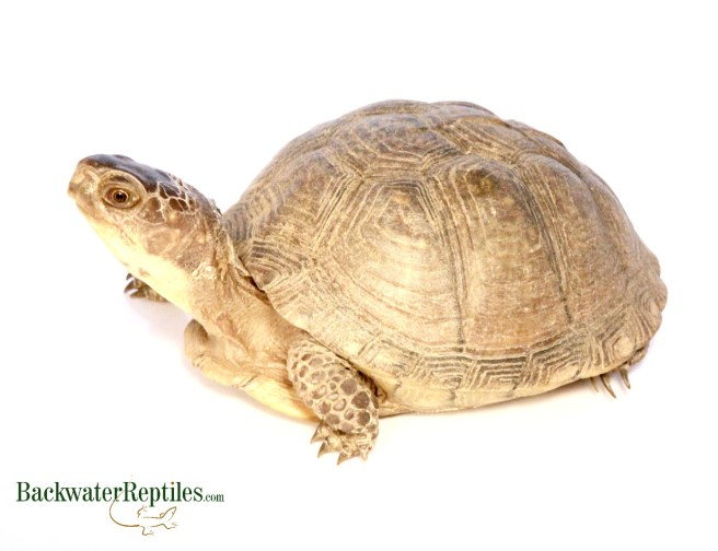 hybrid eastern box turtle