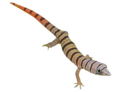 juvenile ashy gecko