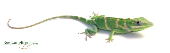Pet Cuban Knight Anole