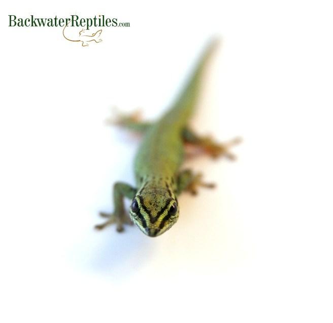 female lygodactylus williamsi