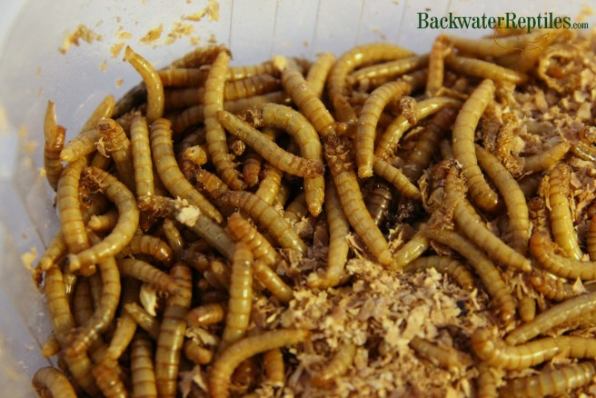 mealworms as feeder insects