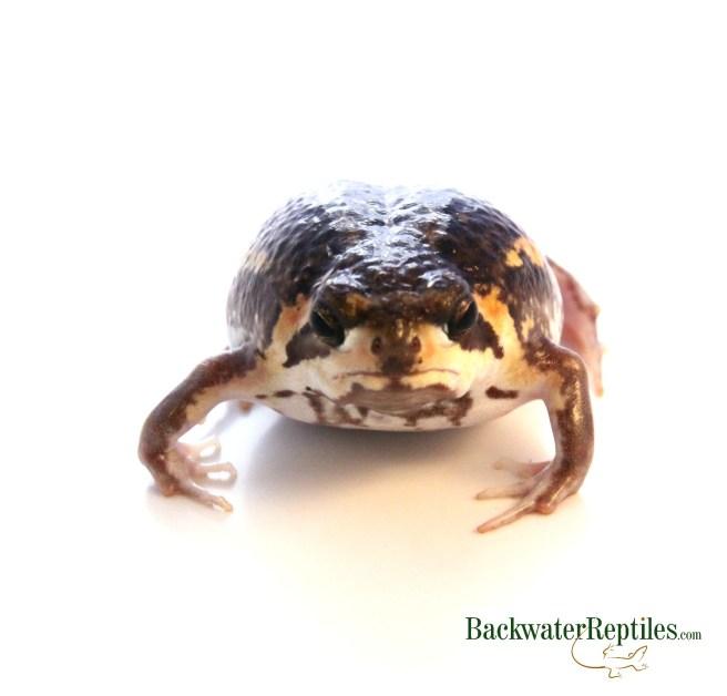 Mozambique Rain Frog