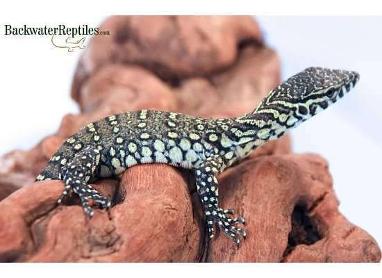 Hatchling Nile Monitor