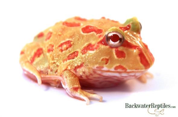 pet pacman frog
