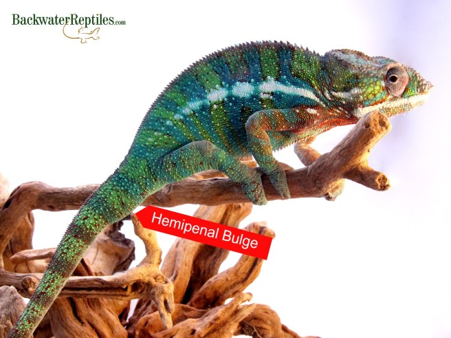 panther chameleon hemipenal bulge