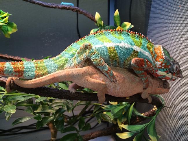 panther chameleons mating