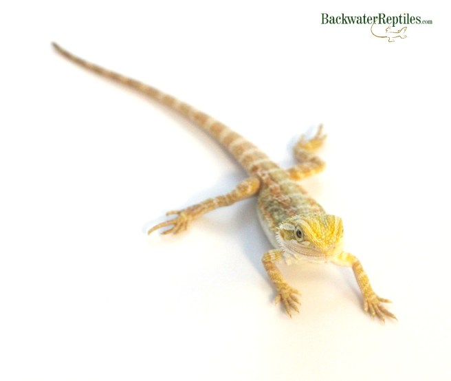 pastel bearded dragon hatchling