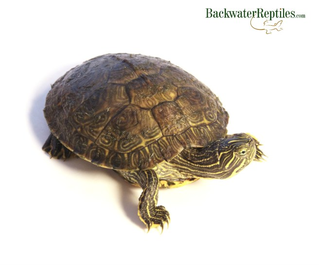 pet peninsula cooter