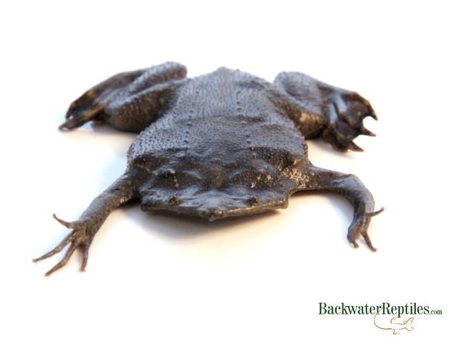Suriname toad - Pipa pipa