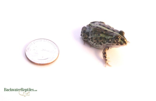 Pixie frog 2 weeks old