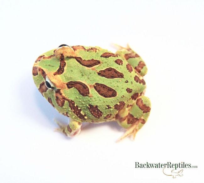 popular pacman frog - Ceratophrys cranwelli