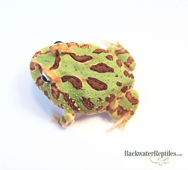 popular pacman frog - Ceratophrys cranwelli