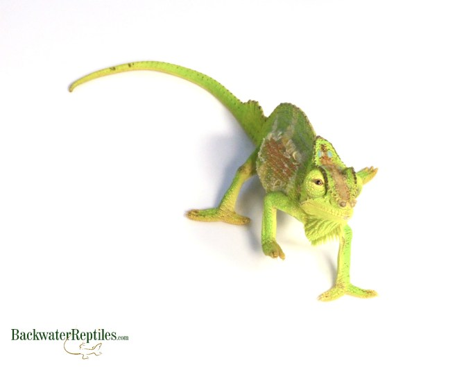 quadricornis chameleon (Trioceros quadricornis)