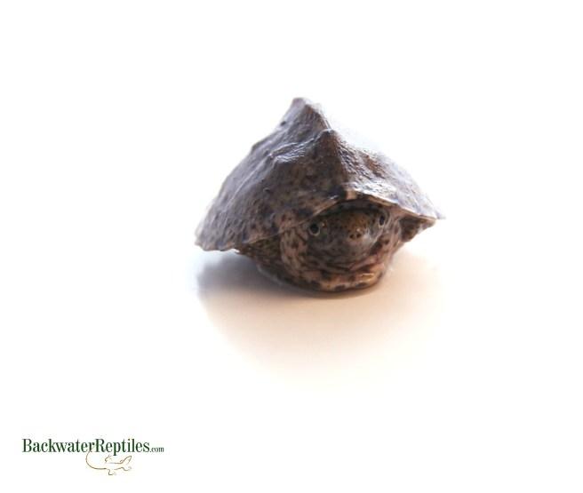 hatchling razorback musk turtle