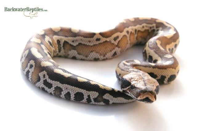 red blood python species
