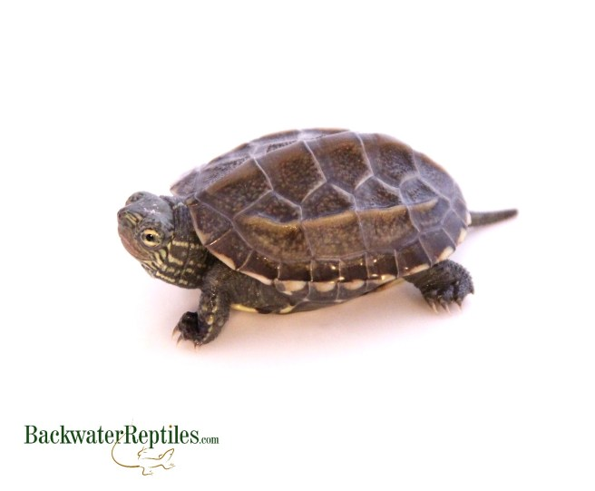hatchling Reeves turtle