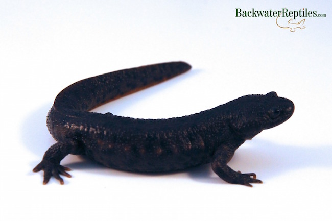 ribbed newt pet