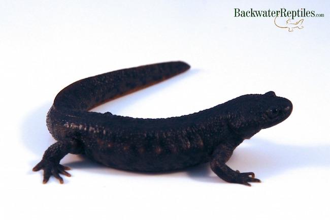 ribbed newt pet