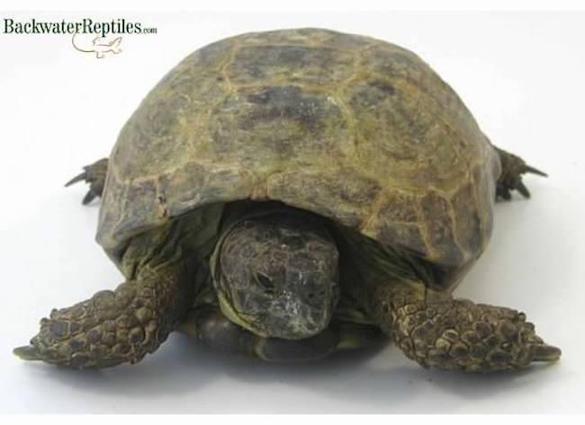 Russian Tortoise - Testudo horsfieldii