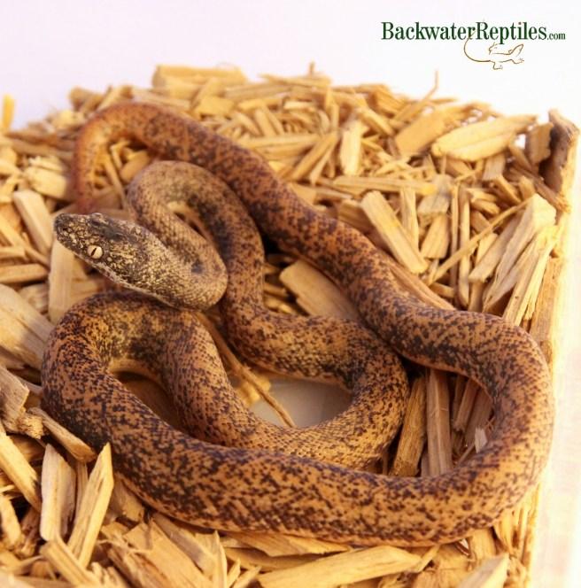 Hungry Savu Python