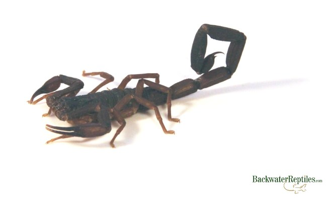 slender brown scorpion