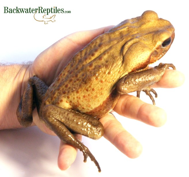 smooth sided toad