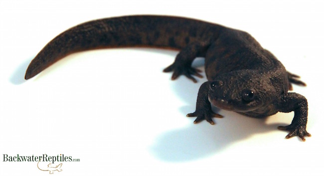 spanish ribbed newt care