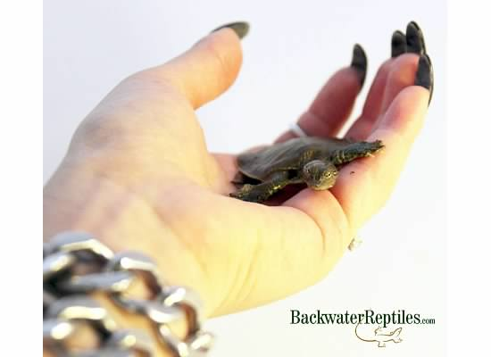 hatchling spiny softshell turtle