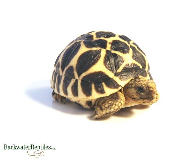 sri lankan star tortoise hatchling
