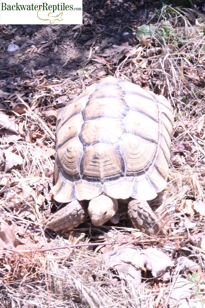 sulcata tortoise outdoors
