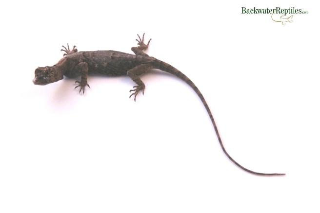 trickiest pet lizards