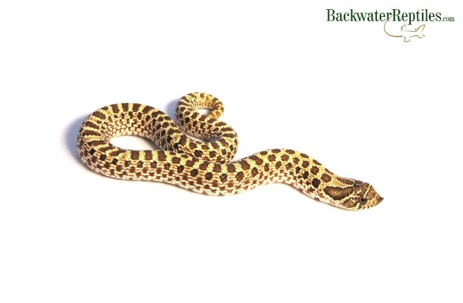 western hognose snake care