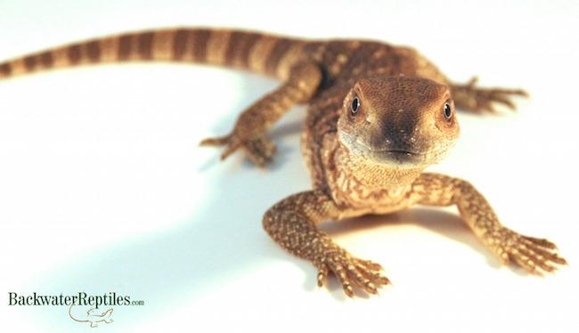 white throat monitor lizard