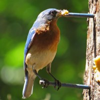A Bluebird Berating