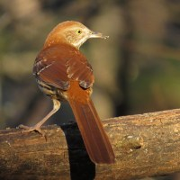 Lighthearted Limericks - Brown Thrasher