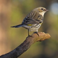 Lighthearted Limericks - Yellow-rumped Warbler