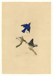 512px-113_Blue-bird
